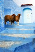 Sheep in Chefchaouen, Morocco, Africa