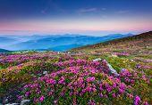 Magic pink rhododendron flowers on summer mountain.Carpathian, Ukraine.