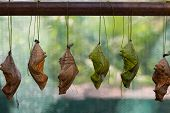 stock photo of chrysalis  - Butterfly is a symbol of love happiness and well - JPG