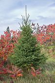 White spruce contrasting with staghorn sumac in its contrasting fall coloration.