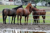 Horses In Muddy Pen