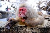 A Japanese Macaque relaxes in the hot spring and lets out a big yawn.