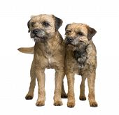 picture of border terrier  - Border terrier in front of a white background - JPG