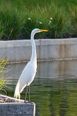 Great Egret with Sunlit from Behind
