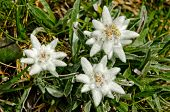 pic of edelweiss  - Close - JPG
