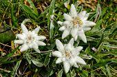 Flores Edelweiss (Leontopodium alpinum)
