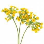 Cowslip flowers over white background. Primula veris.