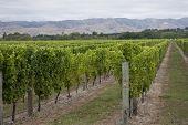 Marlborough Vineyards