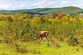 Cow Grazing Cow Grazing In Caucasian Mountains