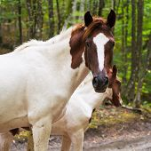 Piebald Horse On Forest Road
