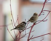 Pair Of Sparrows Sitting On A Red Twig