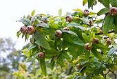 Common Medlar Tree