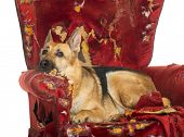 picture of alsatian  - German Sheperd looking dipressed on a destroyed armchair - JPG