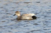stock photo of gadwall  - Gadwall  - JPG