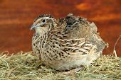 foto of quail  - Young quail on straw on wooden background - JPG