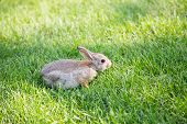 foto of fescue  - A young brown rabbit in green fescue grass - JPG