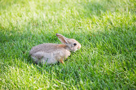 image of fescue  - A young brown rabbit in green fescue grass - JPG