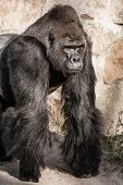 stock photo of male-domination  - Face portrait of a gorilla male in zoo - JPG