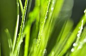 Natural background of dewy green grass blades close up
