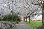 Cherry Blossoms Canopy Along Garden Path