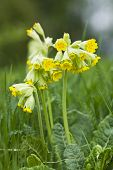 picture of cowslip  - Primula veris commonly known as cowslip flowering in early spring