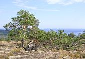 foto of pinus  - Out of nothing on the rock - JPG