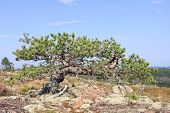 image of pinus  - Out of nothing on the rock - JPG