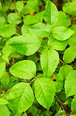 Poison ivy plants growing in forest - common poisonous plant in North America