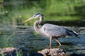 stock photo of low-necked  - Great Blue Heron fishing in the low lake waters - JPG