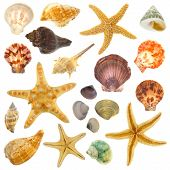 pic of scallop-shell  - Large Assortment of sea shells individually isolated on white - JPG