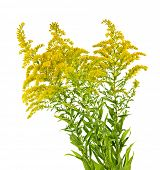 stock photo of ragweed  - Blooming goldenrod plant isolated on white background - JPG