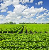 stock photo of cultivation  - Rows of soy plants in a cultivated farmers field - JPG