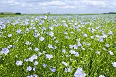 stock photo of flax plant  - Field of many flowering flax plants with blue sky - JPG
