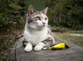 Calico Cat With Recently Killed Yellow Hooded Warbler Bird