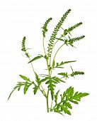 Ragweed plant in allergy season isolated on white background, common allergen