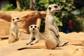 picture of meerkats  - Meerkats in open zoo of Thailand  - JPG