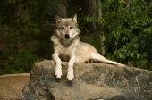 Great Plains Wolf On Rock