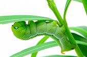 stock photo of hawk moth  - Green Caterpillar - JPG