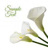 stock photo of white lily  - Beautiful white Calla lilies isolated on white background - JPG