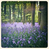 Bluebells in a wood in Hampshire, UK. Filtered to look like an aged instant photo.