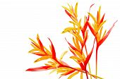 pic of heliconia  - Red and orange Heliconia flower - JPG