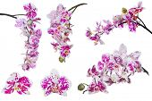 set of dark pink orchid flowers isolated on white background
