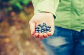 Blueberry Fresh Picked Organic Food In Woman Hand Giving Healthy Lifestyle Northern Forest Recreatio