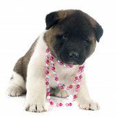 Puppy American Akita