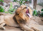 Yawning Lion