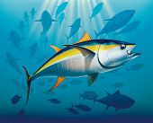 foto of yellowfin tuna  - Shoal of yellowfin tuna in deep water - JPG