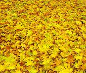 maple leaf as background