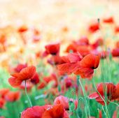 red poppy on cereal field