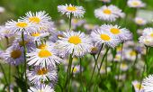 Daisies on meadow