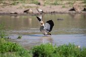 Egyptian Goose Standing In Water Flapping Wings To Dry